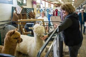 Photo of huacaya alpaca having getting a treat